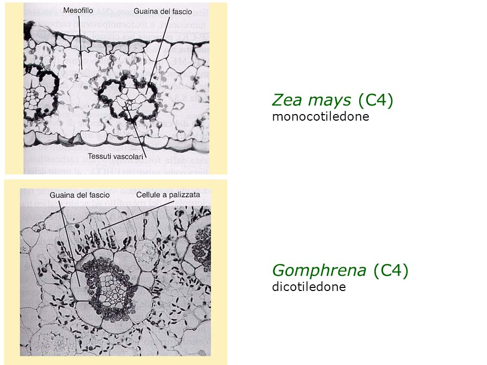 Zea mays (C4) monocotiledone Gomphrena (C4) dicotiledone