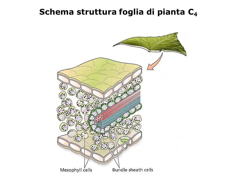 Schema struttura foglia di pianta C4