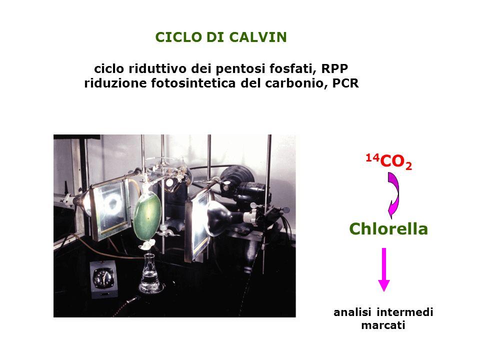 14CO2 Chlorella CICLO DI CALVIN