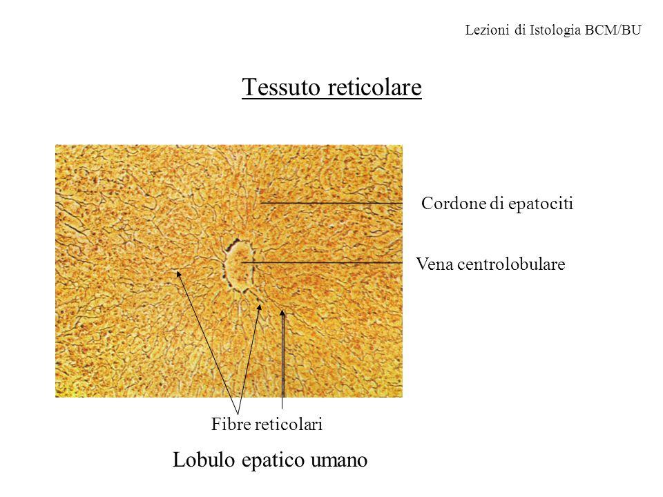 Tessuto reticolare Lobulo epatico umano Cordone di epatociti