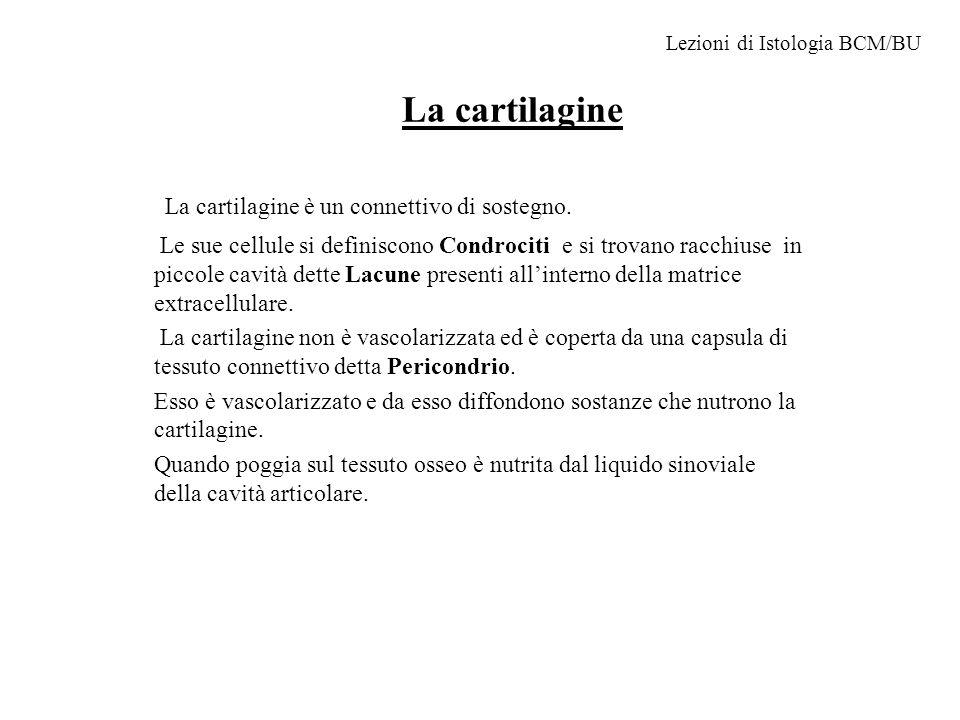 La cartilagine è un connettivo di sostegno.