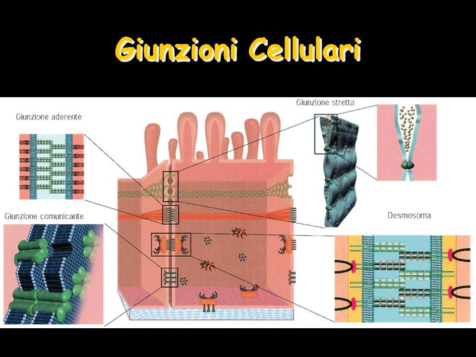 Giunzioni Cellulari