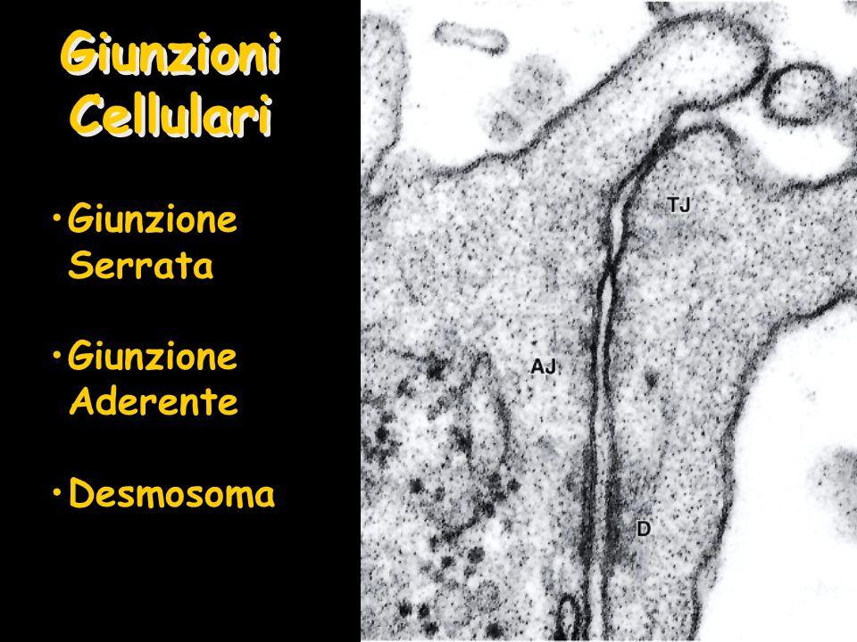 Giunzioni Cellulari Giunzione Serrata Giunzione Aderente Desmosoma