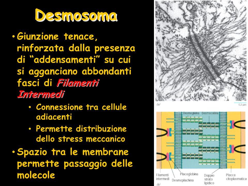 DesmosomaGiunzione tenace, rinforzata dalla presenza di addensamenti su cui si agganciano abbondanti fasci di Filamenti Intermedi.