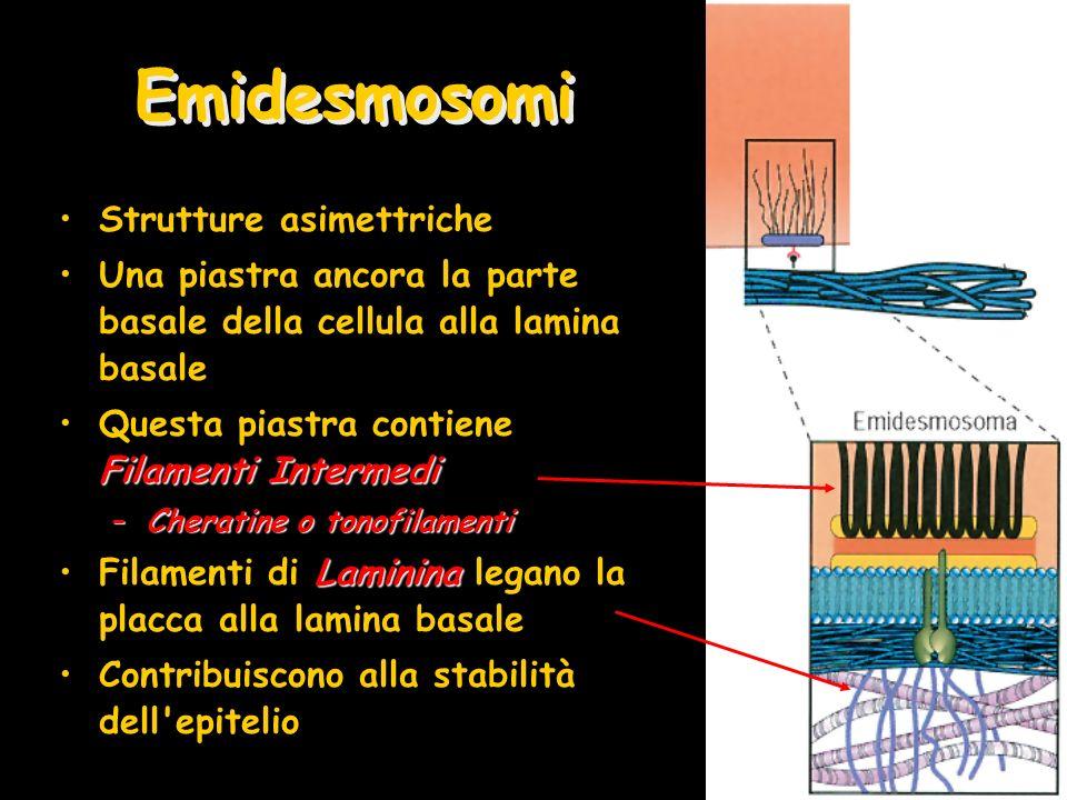 Emidesmosomi Strutture asimettriche