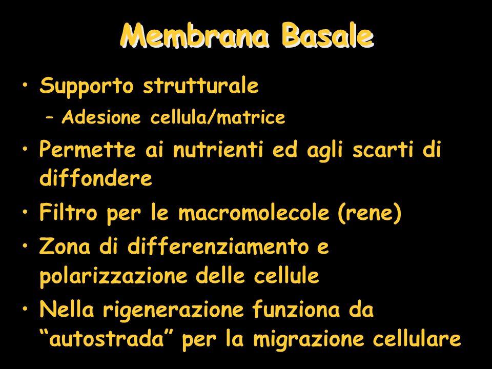 Membrana Basale Supporto strutturale
