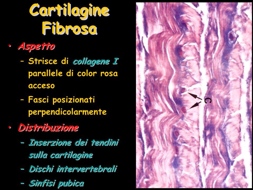 Cartilagine Fibrosa Aspetto Distribuzione