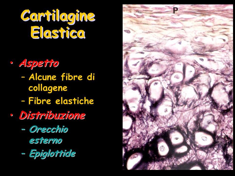 Cartilagine Elastica Aspetto Distribuzione Alcune fibre di collagene