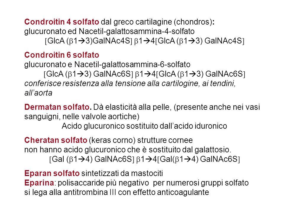 Condroitin 4 solfato dal greco cartilagine (chondros):