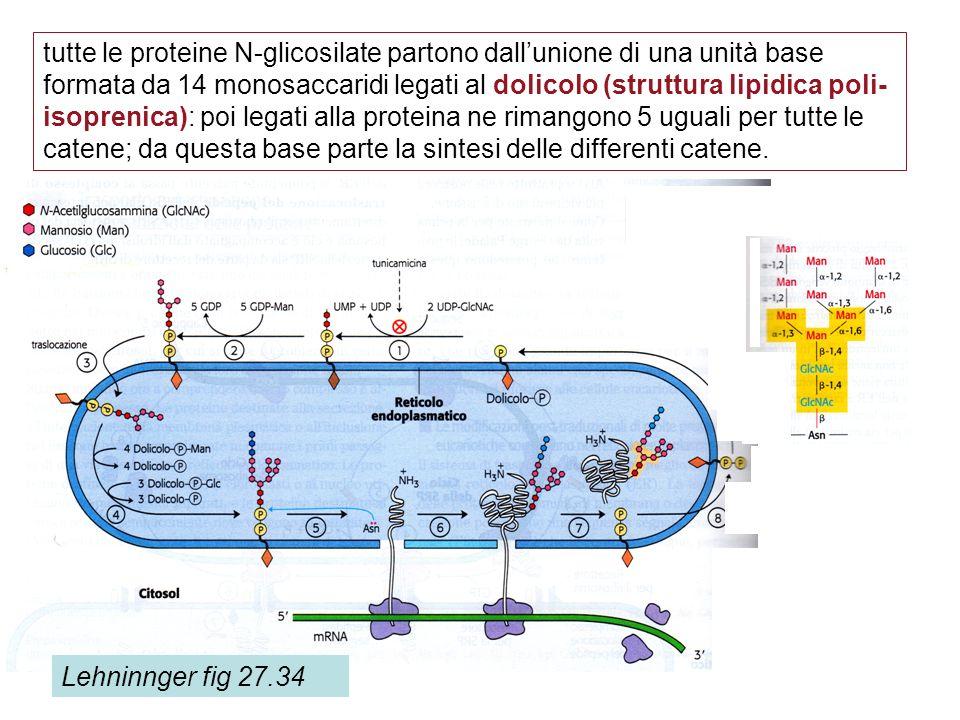 tutte le proteine N-glicosilate partono dall'unione di una unità base formata da 14 monosaccaridi legati al dolicolo (struttura lipidica poli-isoprenica): poi legati alla proteina ne rimangono 5 uguali per tutte le catene; da questa base parte la sintesi delle differenti catene.