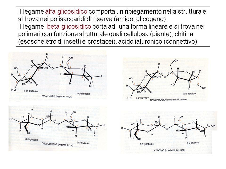 Il legame alfa-glicosidico comporta un ripiegamento nella struttura e si trova nei polisaccaridi di riserva (amido, glicogeno).
