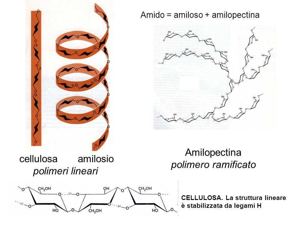 Amilopectina cellulosa amilosio polimero ramificato polimeri lineari