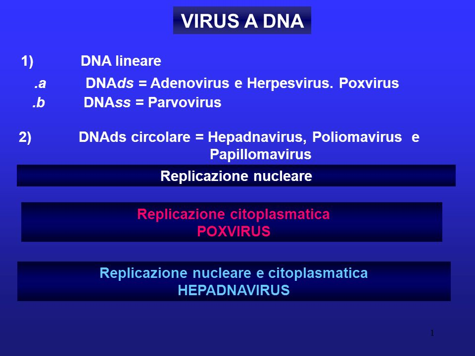 VIRUS A DNA 1) DNA lineare