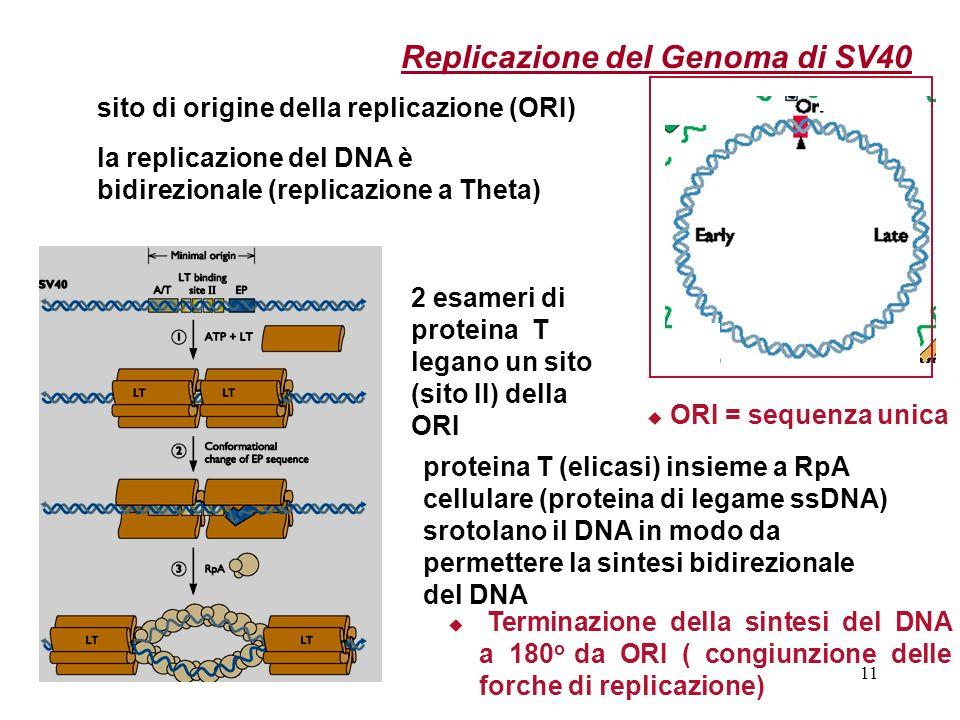 Replicazione del Genoma di SV40