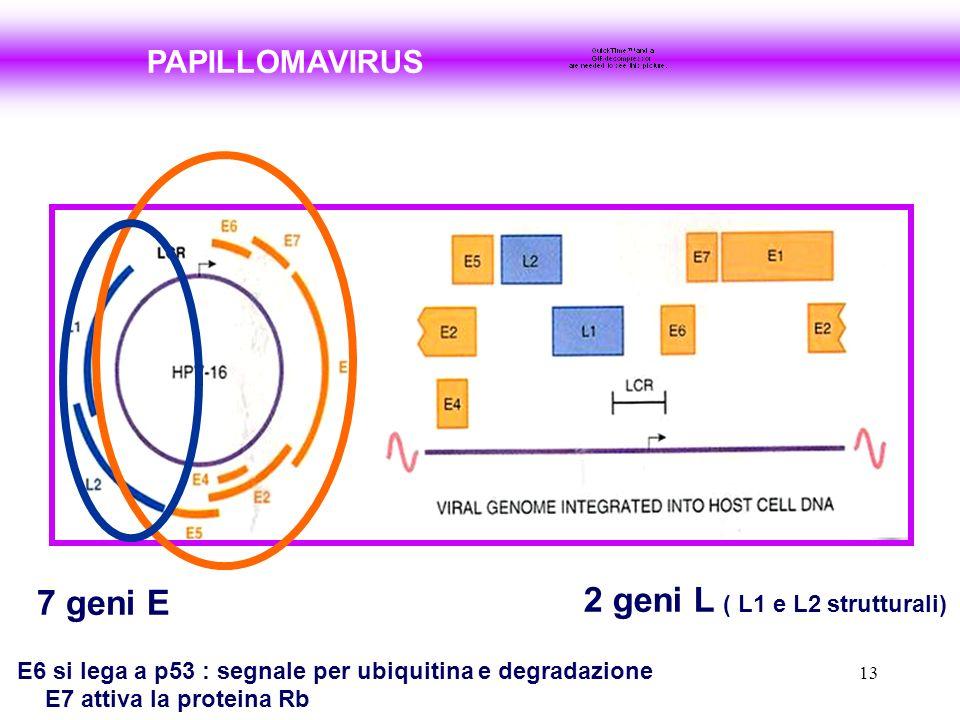 2 geni L ( L1 e L2 strutturali)