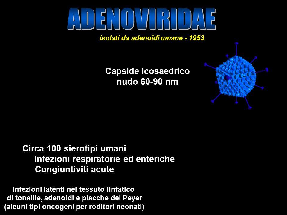 ADENOVIRIDAE Capside icosaedrico nudo 60-90 nm