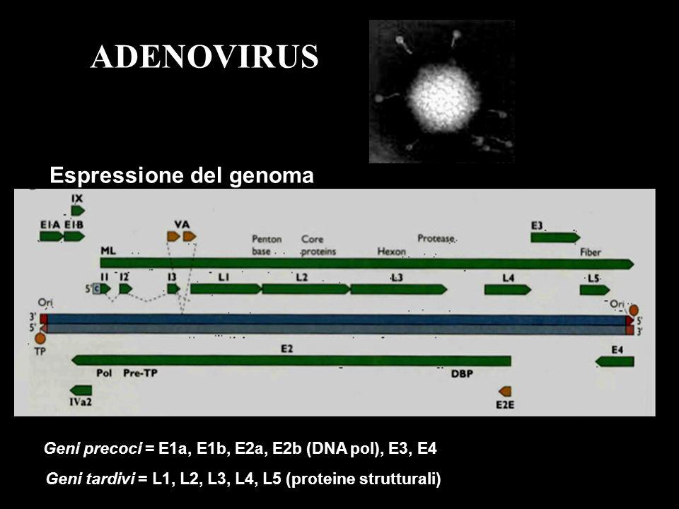 ADENOVIRUS Espressione del genoma