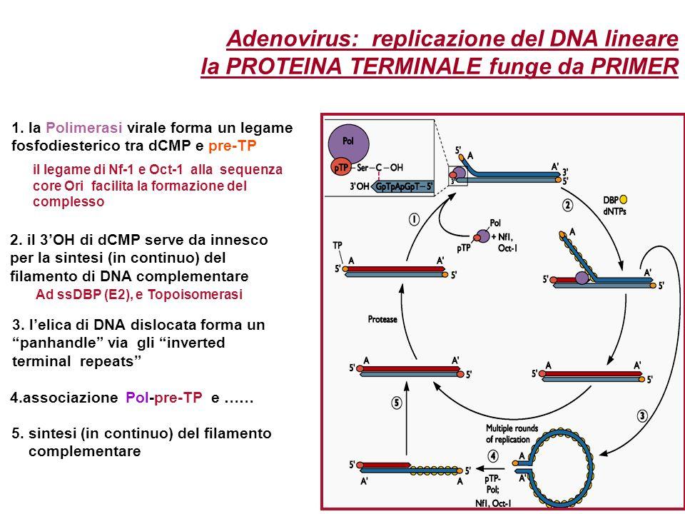 Adenovirus: replicazione del DNA lineare la PROTEINA TERMINALE funge da PRIMER