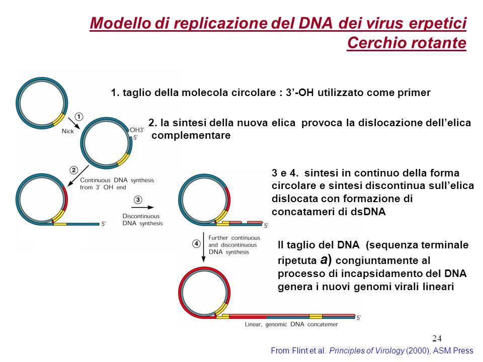 Modello di replicazione del DNA dei virus erpetici Cerchio rotante