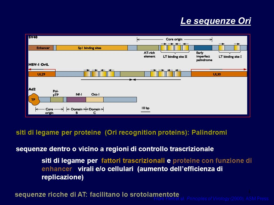 Le sequenze Ori siti di legame per proteine (Ori recognition proteins): Palindromi. sequenze dentro o vicino a regioni di controllo trascrizionale.