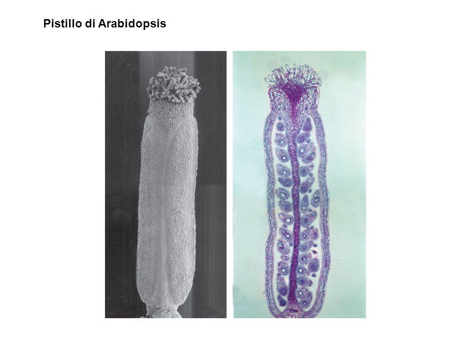 Pistillo di Arabidopsis