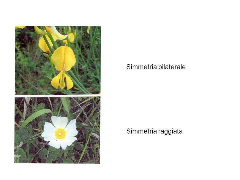 Simmetria bilaterale Simmetria raggiata