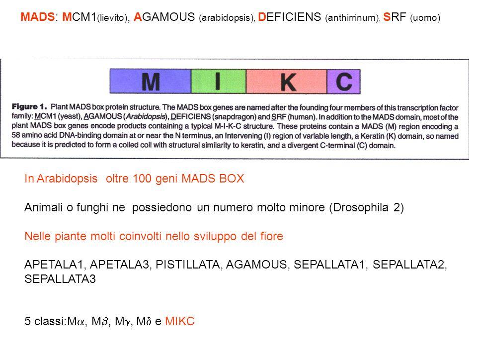 MADS: MCM1(lievito), AGAMOUS (arabidopsis), DEFICIENS (anthirrinum), SRF (uomo)