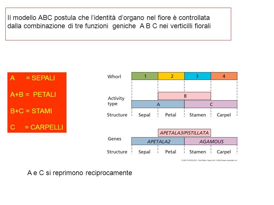 Il modello ABC postula che l'identità d'organo nel fiore è controllata
