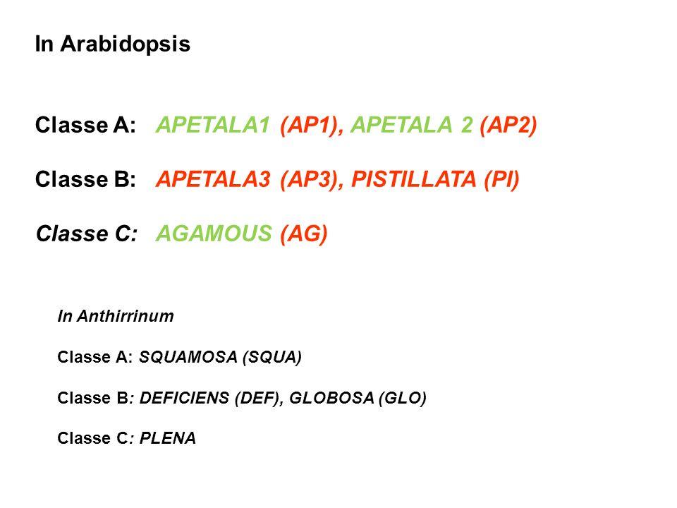 Classe A: APETALA1 (AP1), APETALA 2 (AP2)