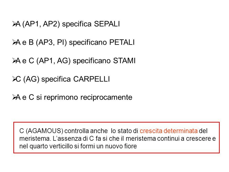 A (AP1, AP2) specifica SEPALI A e B (AP3, PI) specificano PETALI