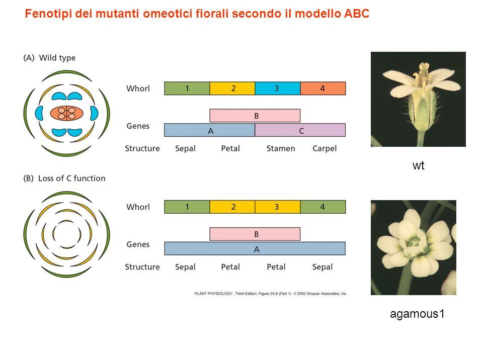 Fenotipi dei mutanti omeotici fiorali secondo il modello ABC