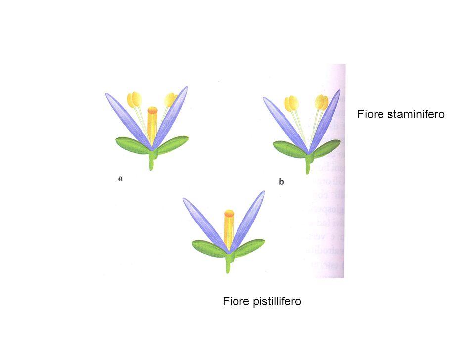 Fiore staminifero Fiore pistillifero