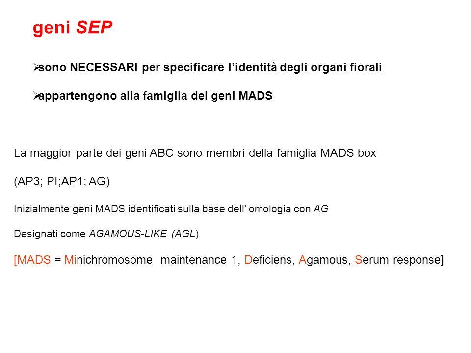 geni SEP sono NECESSARI per specificare l'identità degli organi fiorali. appartengono alla famiglia dei geni MADS.