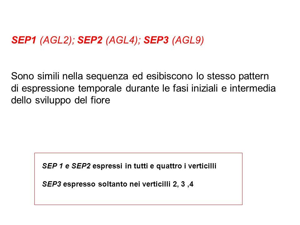 SEP1 (AGL2); SEP2 (AGL4); SEP3 (AGL9)