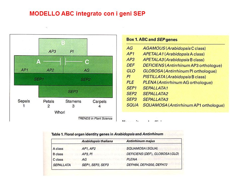 MODELLO ABC integrato con i geni SEP