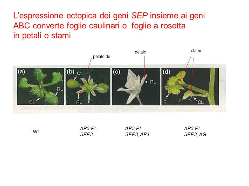 L'espressione ectopica dei geni SEP insieme ai geni