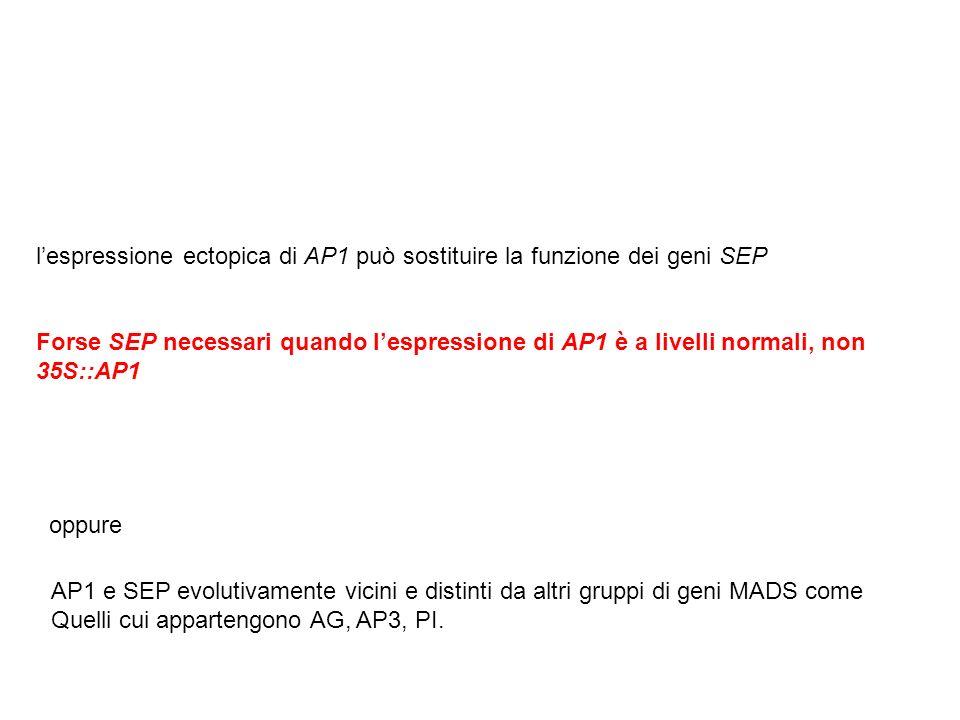 l'espressione ectopica di AP1 può sostituire la funzione dei geni SEP