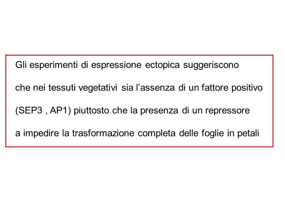 Gli esperimenti di espressione ectopica suggeriscono