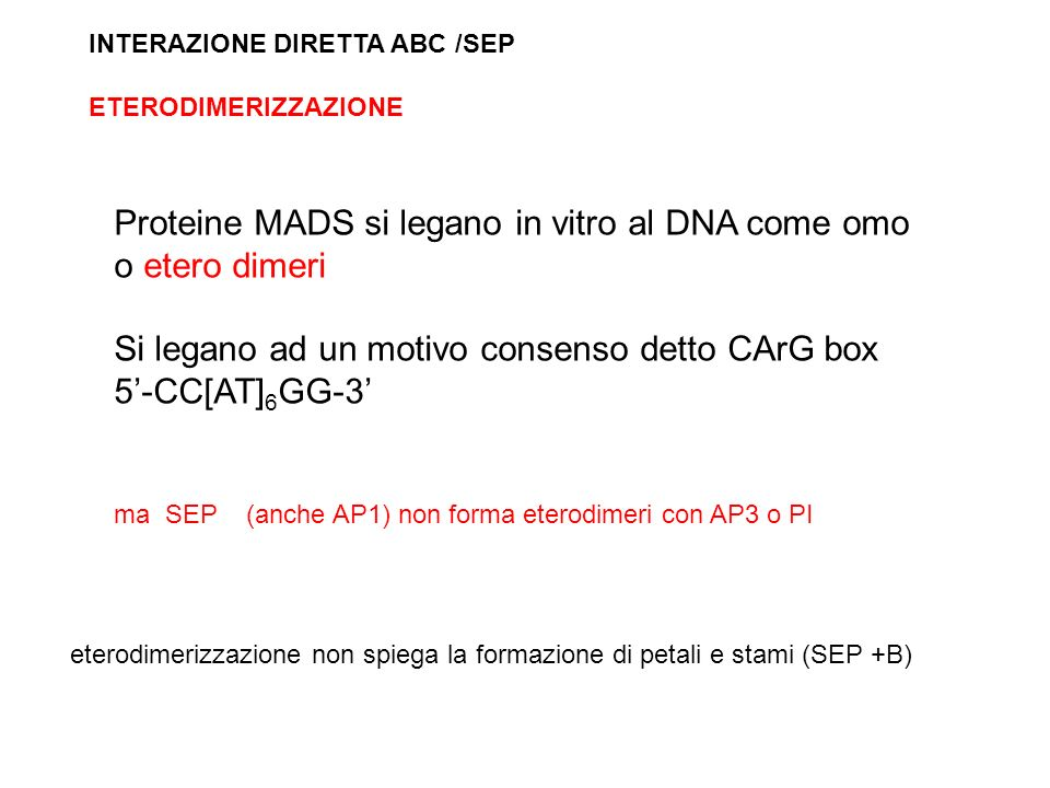 Proteine MADS si legano in vitro al DNA come omo o etero dimeri