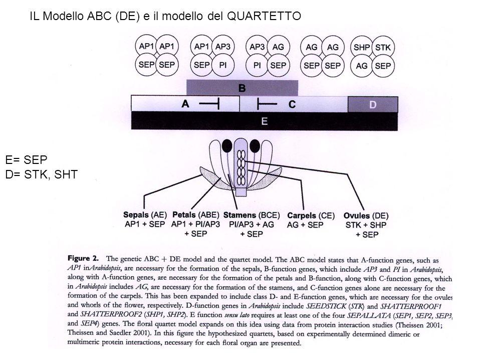 IL Modello ABC (DE) e il modello del QUARTETTO