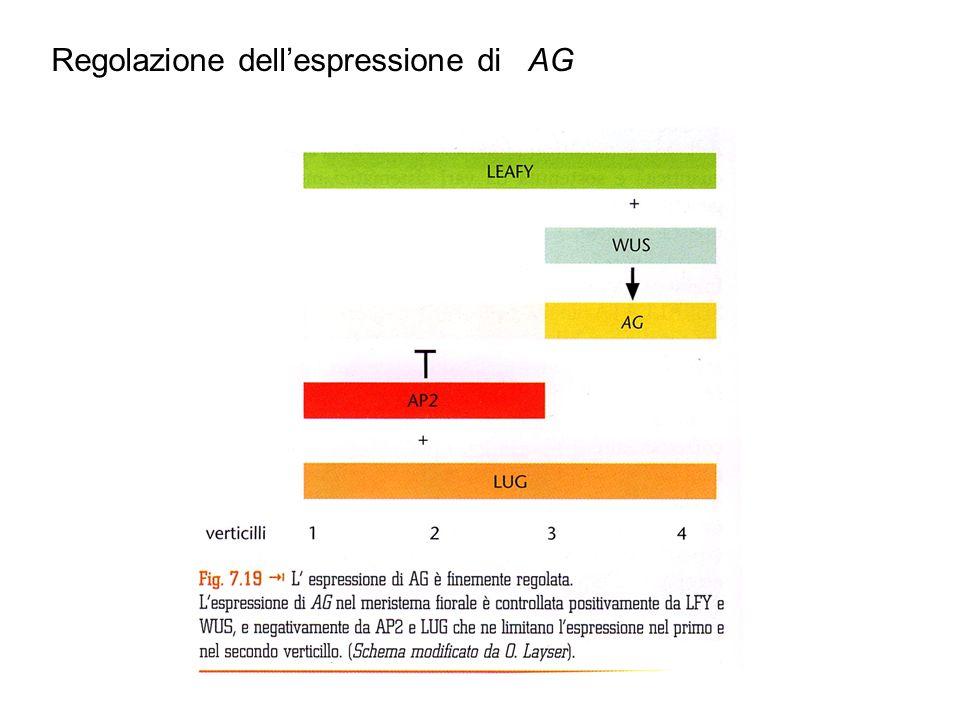 Regolazione dell'espressione di AG