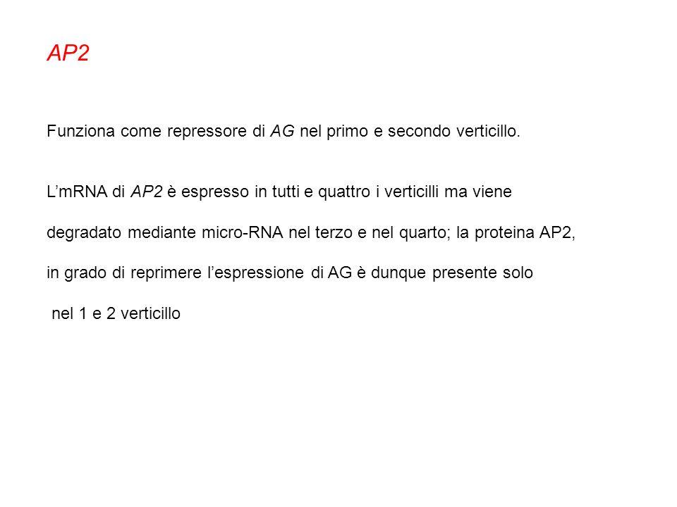 AP2 Funziona come repressore di AG nel primo e secondo verticillo.