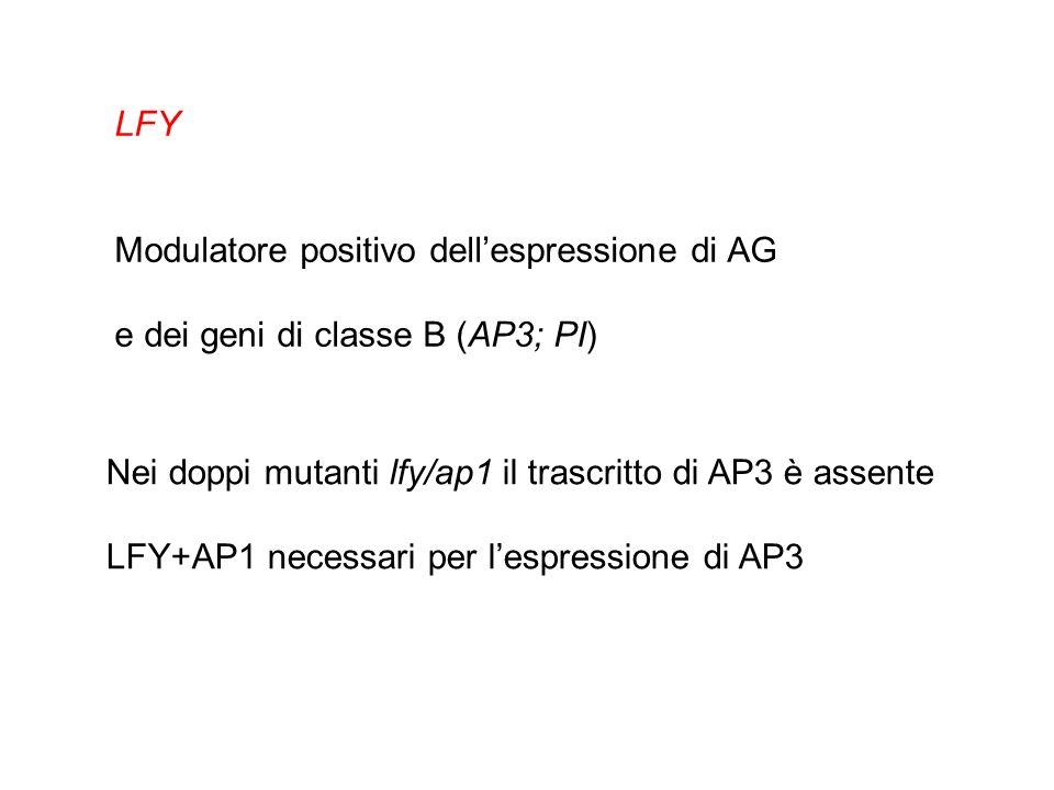 LFY Modulatore positivo dell'espressione di AG. e dei geni di classe B (AP3; PI) Nei doppi mutanti lfy/ap1 il trascritto di AP3 è assente.