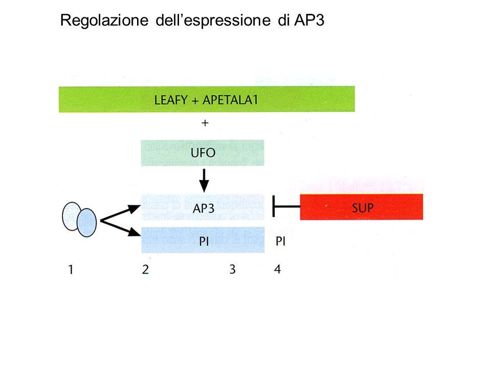 Regolazione dell'espressione di AP3