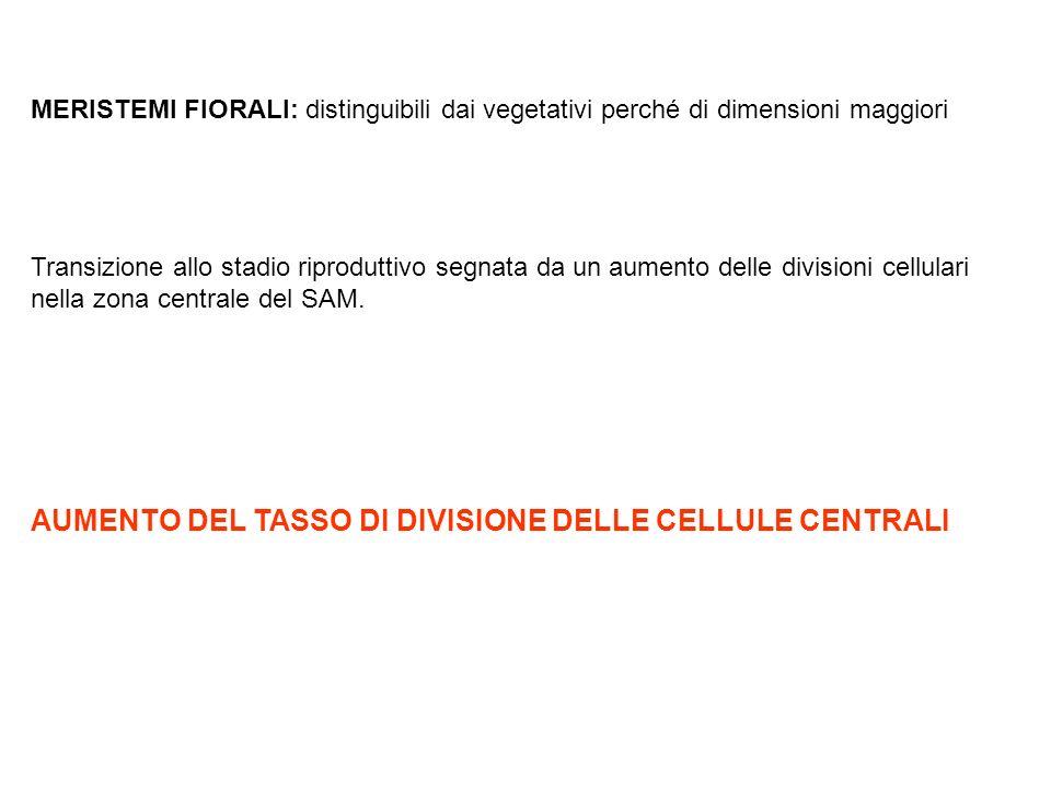 AUMENTO DEL TASSO DI DIVISIONE DELLE CELLULE CENTRALI