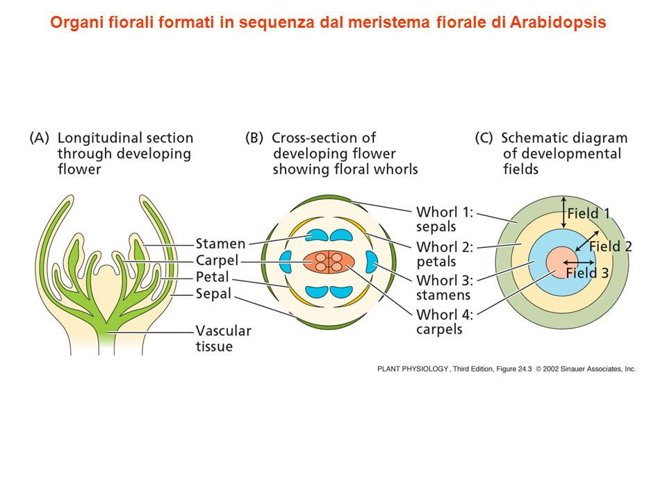 Organi fiorali formati in sequenza dal meristema fiorale di Arabidopsis