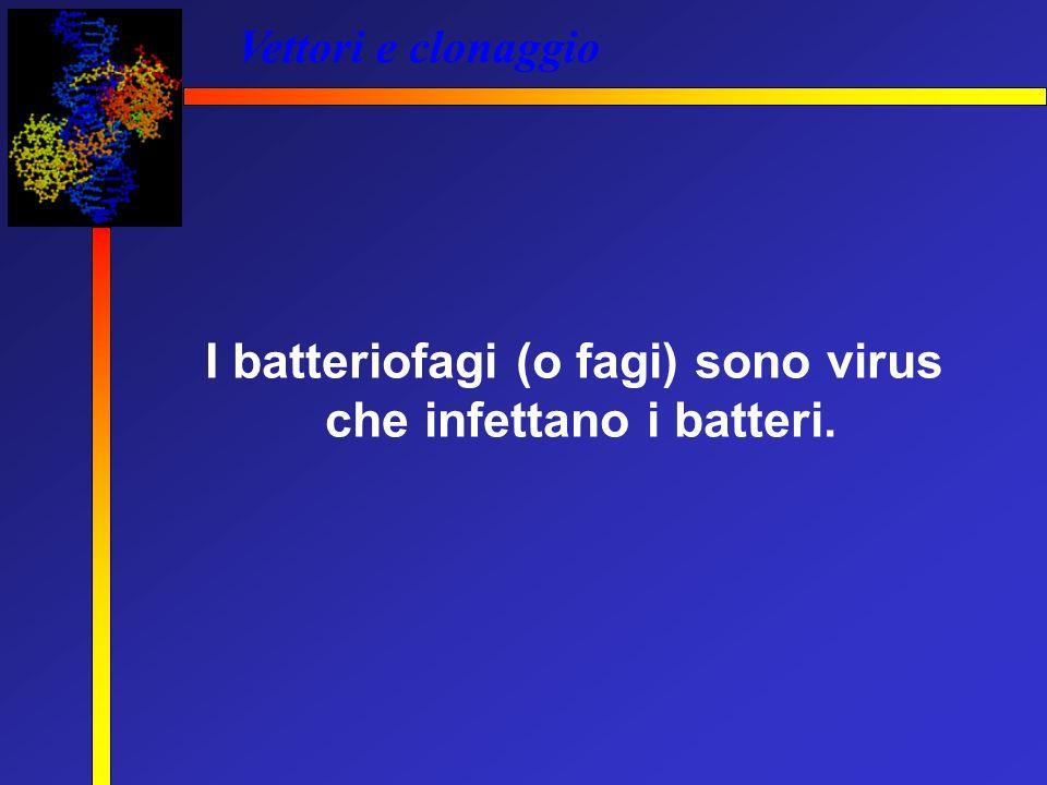I batteriofagi (o fagi) sono virus che infettano i batteri.