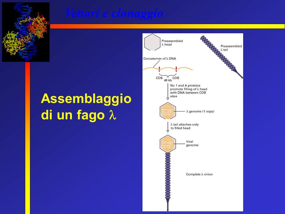 Vettori e clonaggio Assemblaggio di un fago 