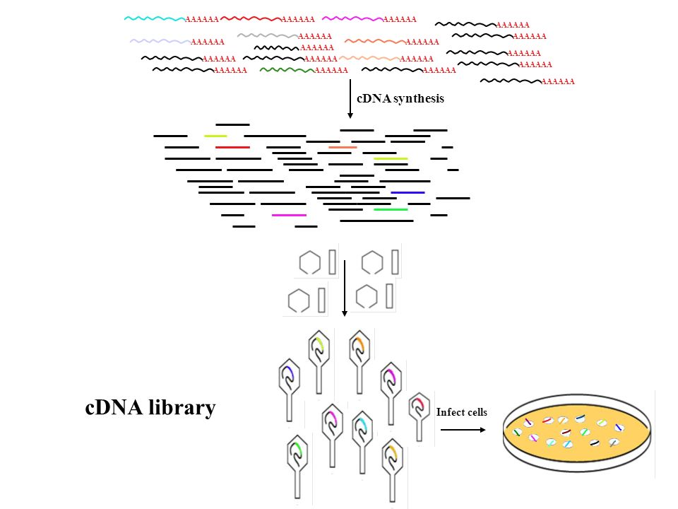 AAAAAA cDNA synthesis cDNA library Infect cells
