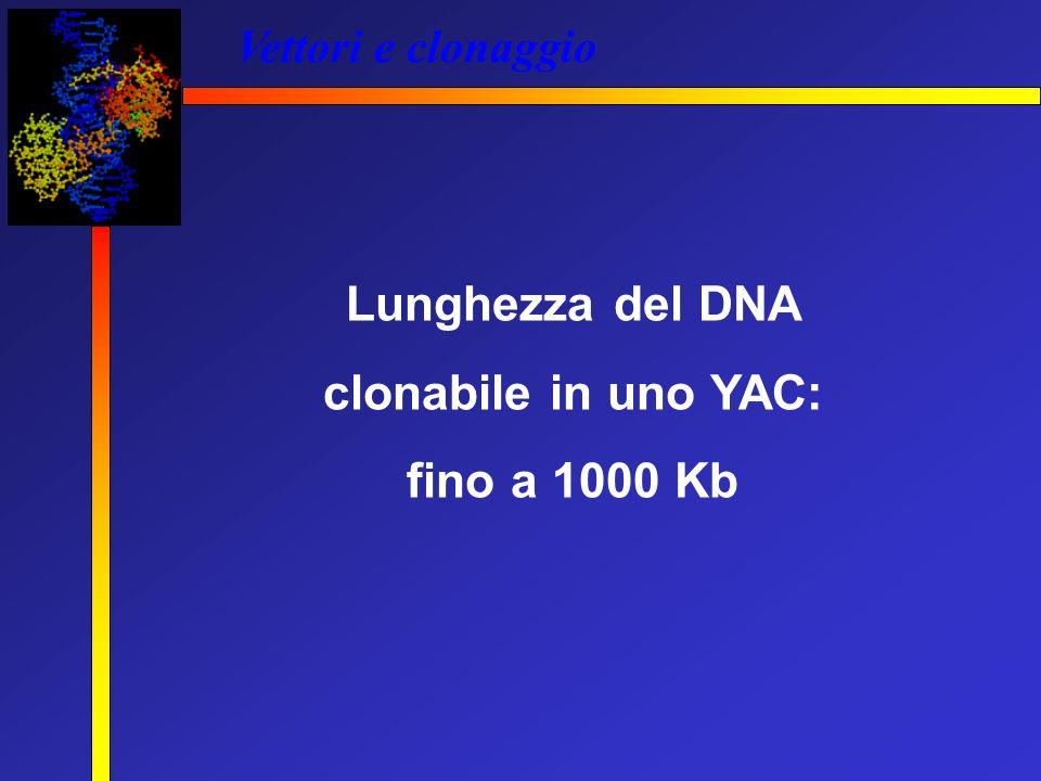 Lunghezza del DNA clonabile in uno YAC: fino a 1000 Kb